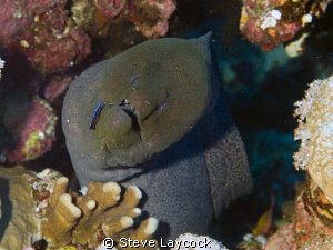Moray eel by Steve Laycock 